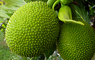 The Breadfruit is one of the highest producing food plants in the world.