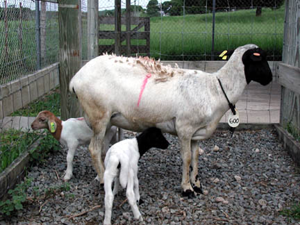 Dorper x St. Croix White ewe with twin lambs