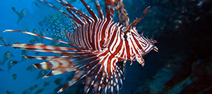 Researchers Investigate the Risks of Lionfish Consumption