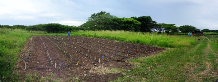Tomato Variety Trial at Sejah Farm