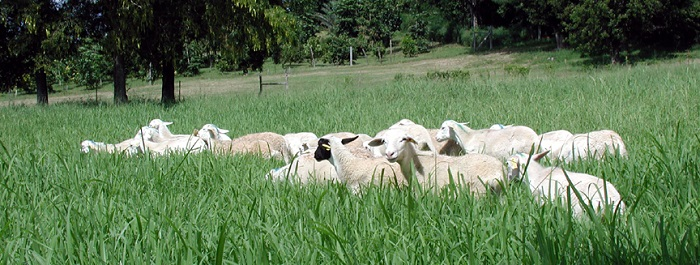 UVI's St. Croix Hair Sheep Flock