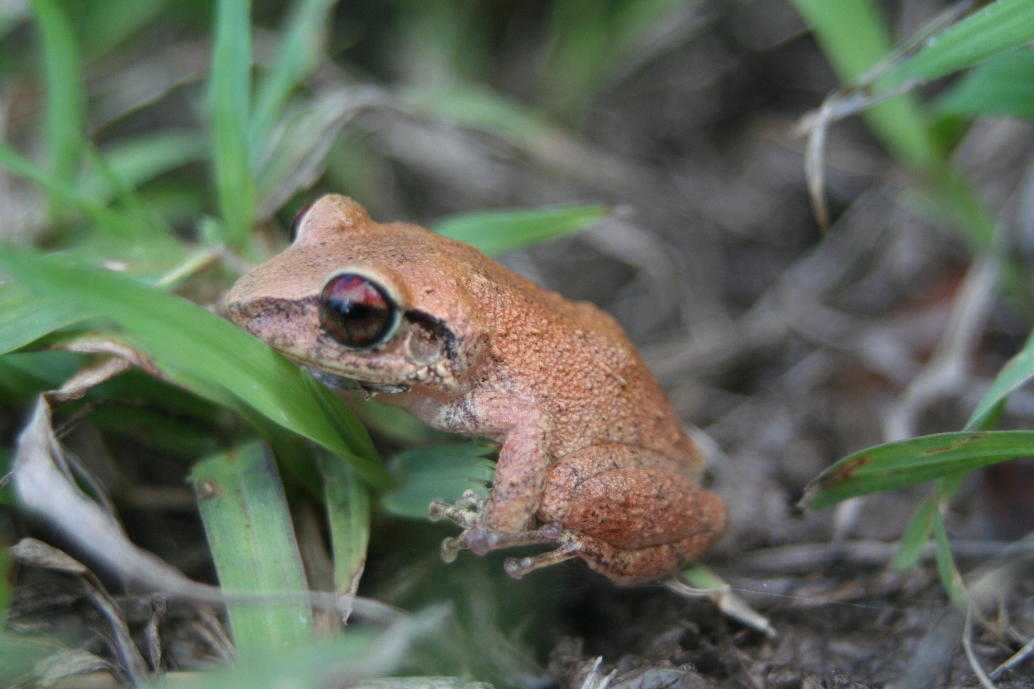 VI-EPSCoR Citizen Science / Antillean Frog