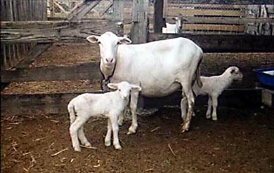 Saint Croix Hair Sheep