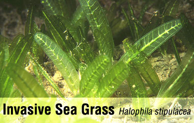 Halophila stipulacea is an invasive species of sea grass that is quickly spreading in the Virgin Islands