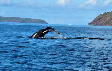 Humpback Whales were spotted in the waters at John Brewers Bay