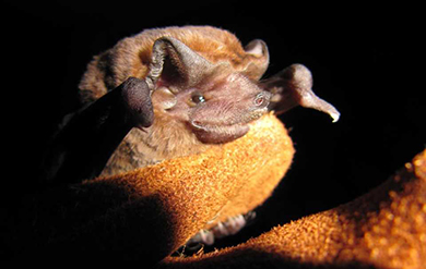 Colonies of Pallas' Mastiff Bats Occupy Rooves in the Virgin Islands